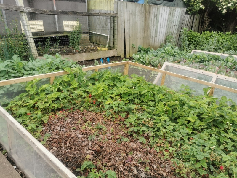 The strawberry bed that has been quite been neglected this season